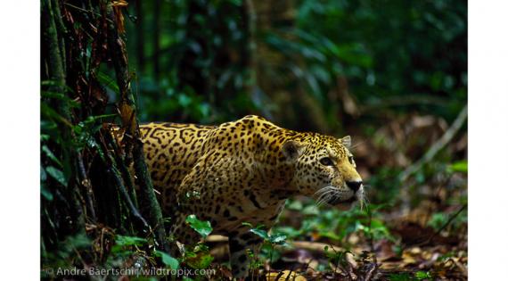 3 Tigre por la selva de Madre de Dios. Perú (foto de Andre Baerschi)